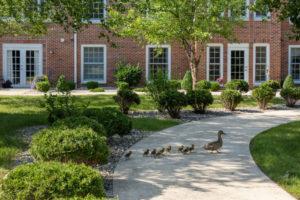 Ducks crossing path